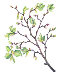 Spring young branch of a linden tree with buds and leaves. Watercolor hand drawn painting illustration isolated on a white background.