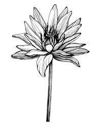 Flower blue Egyptian lotus (water lily, Nymphaea caerulea, sacred lotus). Black and white outline illustration, hand drawn work. Isolated on white background.