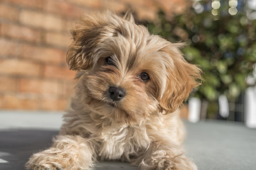 Cute Cavapoochon puppy, looking at the camera. The picture focuses on the face. The animal has golden colored fur.