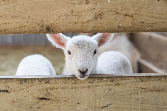 baby lamb looking through fence