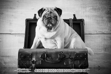 vintage luggage with nice pug dog inside