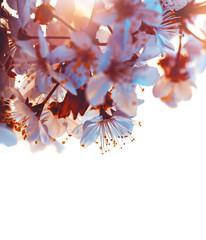 Cherry tree blooming border