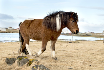 Poster Dogs Beauty of Icelandic horses
