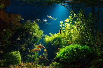Light beam in tropical fresh water aquarium with live  plants, different fishes and blue background in low key, 300 dpi