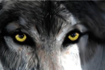 Piercing eyes of a grey wolf