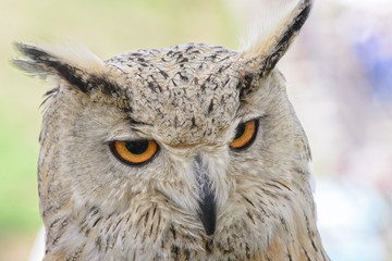 Portrait of a horned owl, controlled conditions. Taken in Cabarceno Natural Park in Spain, home to a hundred animal species from five continents living in semi-free conditions.