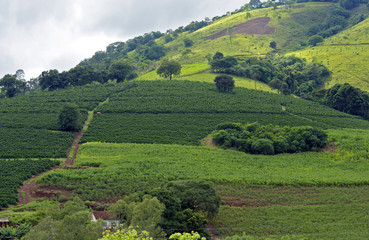 Bucolic landscape with coffee plantation