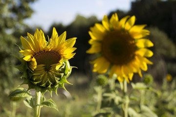 Two sunflowers in a field on a background of trees. Flowering sunflower open sunflower with multiple petals