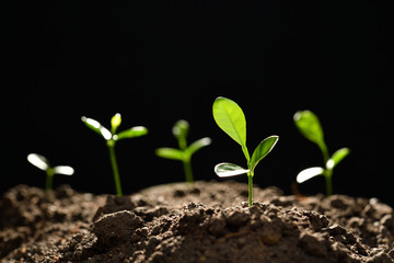 Group of young plants growing out from soil on black background