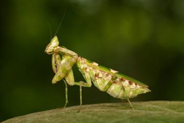 Image of Flower mantis(Creobroter gemmatus) on green leaves. Insect Animal