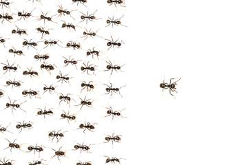 leader ants