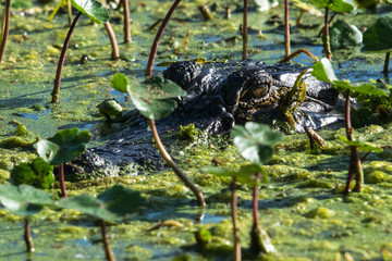 American Alligator in Duckweed!