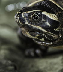 Close up of wild Asian turtle eye. Showing scars and damage caused by water pollution Asia.