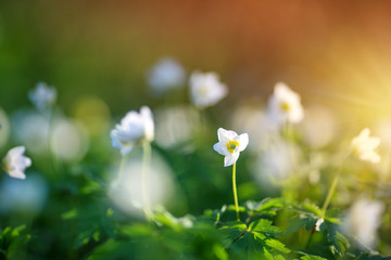 Wall Mural - view to early spring flowers in the park. Anemone blossom at beautiful sunset with sunlight in the forest in april