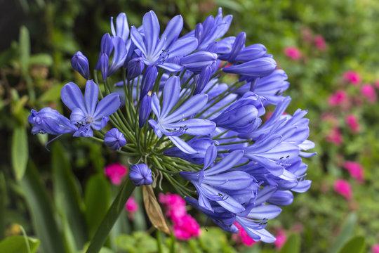 Beautiful flower, Blue Agapanthus is blooming