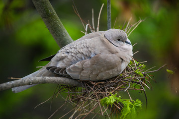 Turtle dove nesting