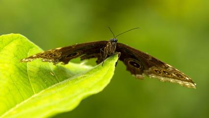 Schmetterling: Pfauenauge