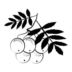 Beautiful silhouette of a rowan berries on a white background. Contour drawing. Element for design and decoration. illustration.