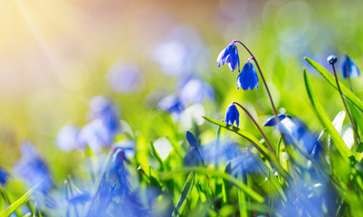 Wall Mural - view to early spring flowers in the park. Blue scilla blossom at beautiful sunset with sunlight in the forest in april