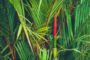 palm tree with red strem, sealing wax palm a.k.a. lipstick palm