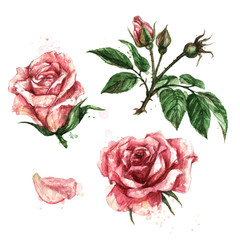 Pink Roses. Watercolor Illustration.