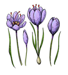 saffron colorSaffron flower vector drawing. Hand drawn herb and