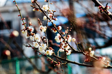 clusters of plum blossoms 2