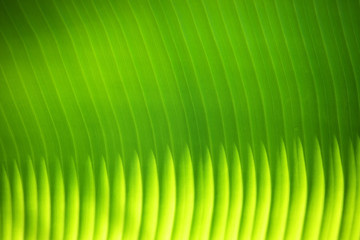 Wall Mural - close up of beautiful lighting sunlight on fresh banana leaf background.