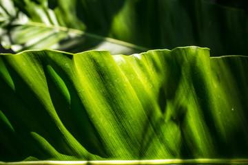 Dieffenbachia  leaf, Green leaf  pattern, Close up, Light and Shadow