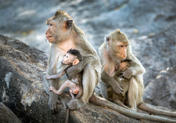 The family of monkeys in nature.