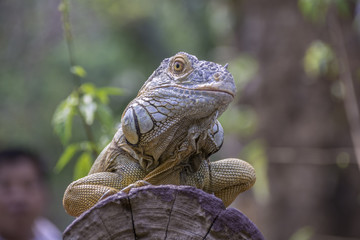 Iguana is on a timber.