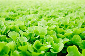 Background or wallpaper of fresh green lettuce leaves grown in hothouse