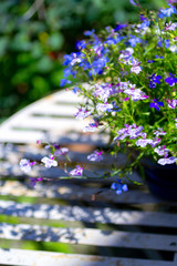 Blue ad white lobelia flowers on the white garden table, close up shot.