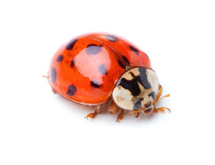 single ladybug isolated on white background