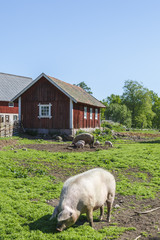Pigs in the countryside a summer day