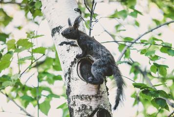 dark squirrel with fluffy ears sits on birch tree