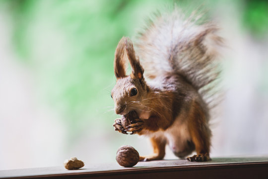 Squirrel gnaws nuts on wooden shelf