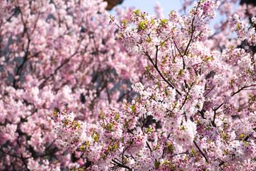 Beautiful cherry blossom sakura in spring time over sky.