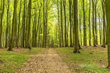 Waldweg im Buchenwald