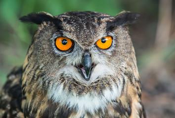 eagle-owl, Bubo bub, puchacz