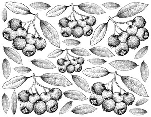 Hand Drawn Background of Blue Lilly Pilly Fruits