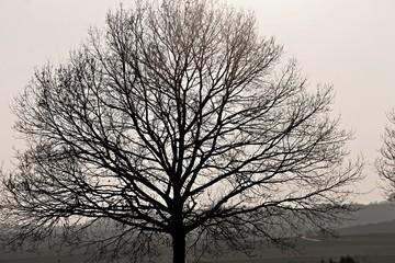 kahler Baum im Abendlicht
