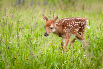 White-Tailed Deer Fawn (Odocoileus virginianus) Walks Forward Head Down