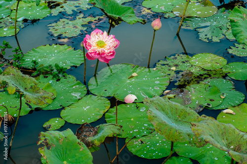 Lotus Flowers Plantationcambodia Stock Photo And Royalty Free
