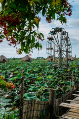 Lotus flowers, plantation,Cambodia