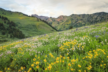 Summer wildflowers in the Wasatch Mountains, Utah, USA.