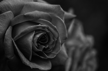 Obraz róża - fototapety do salonu