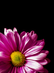 Pink Gerber Daisy With Black Background for Copy Space