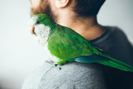 Close-up of a green Quaker parrot who is sitting on shoulder of young beard man in gray t-short at home. Monk parakeet is looking at camera with curiosity.