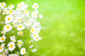 Blurred Summer background With Daisies flowers